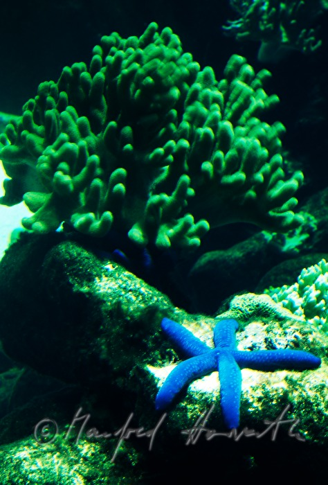 Blue Star and coral reef