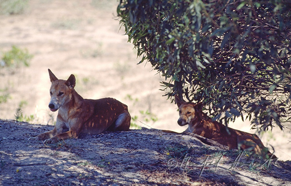 Two dingoes rest in the shadow of a gum tree