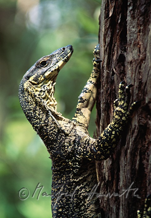 a yellow-spotted goanna cllimbs a tree