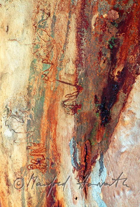 scars in a trunk of a gum tree made by Eucalyptus longhorned borer